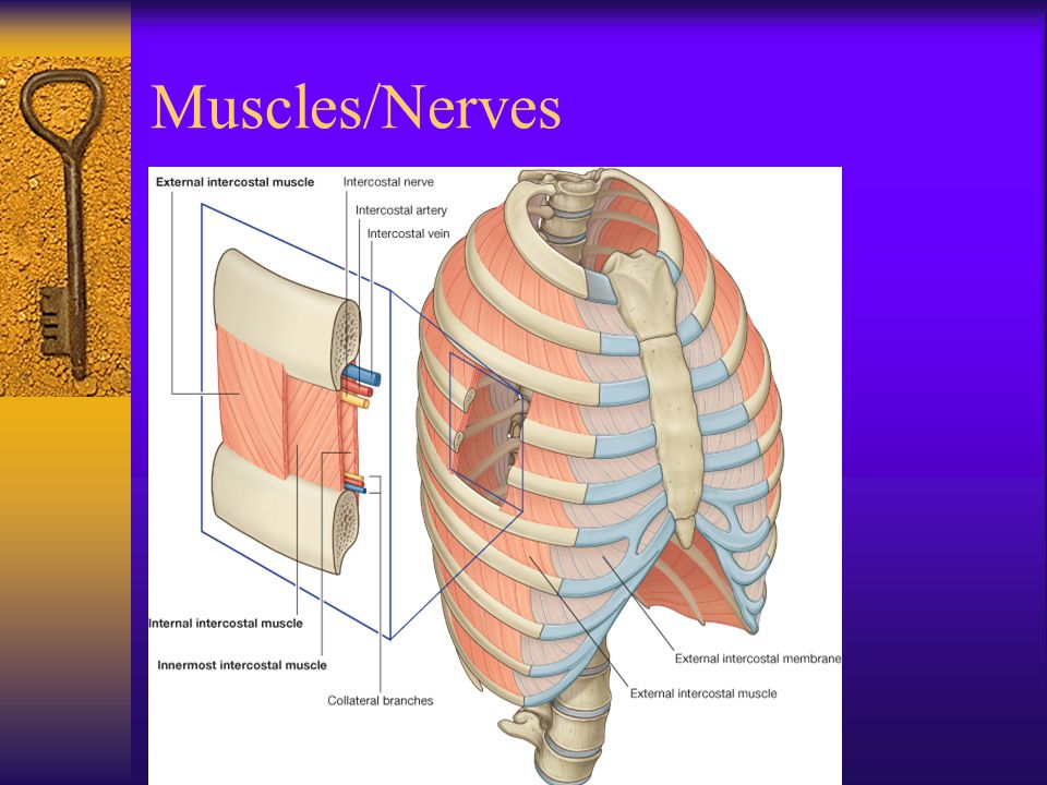 Muscles/Nerves