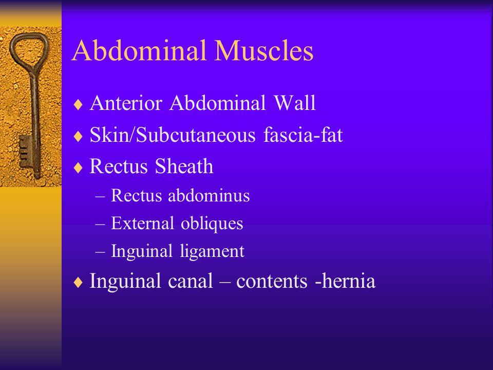 Abdominal Muscles Anterior Abdominal Wall Skin/Subcutaneous fascia-fat