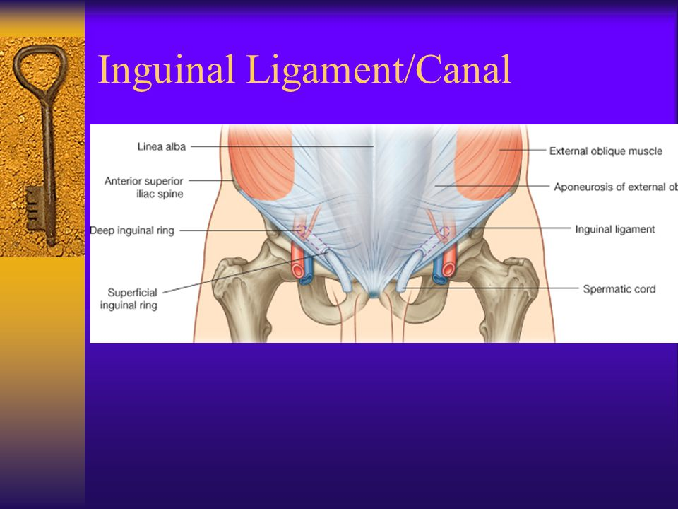 Inguinal Ligament/Canal