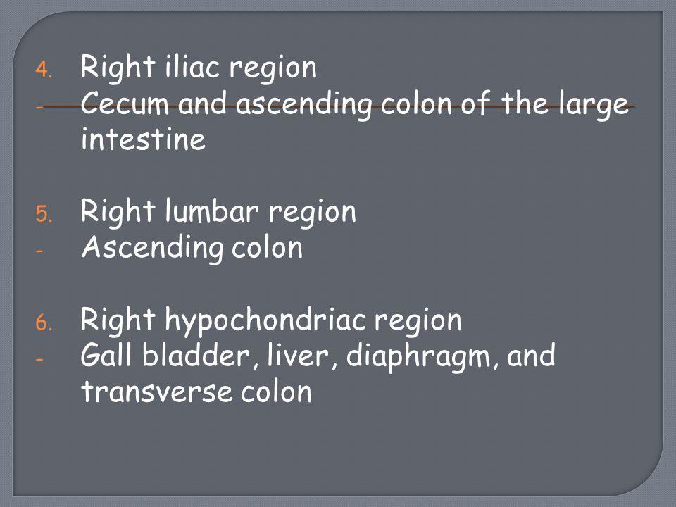Right iliac region Cecum and ascending colon of the large intestine. Right lumbar region. Ascending colon.