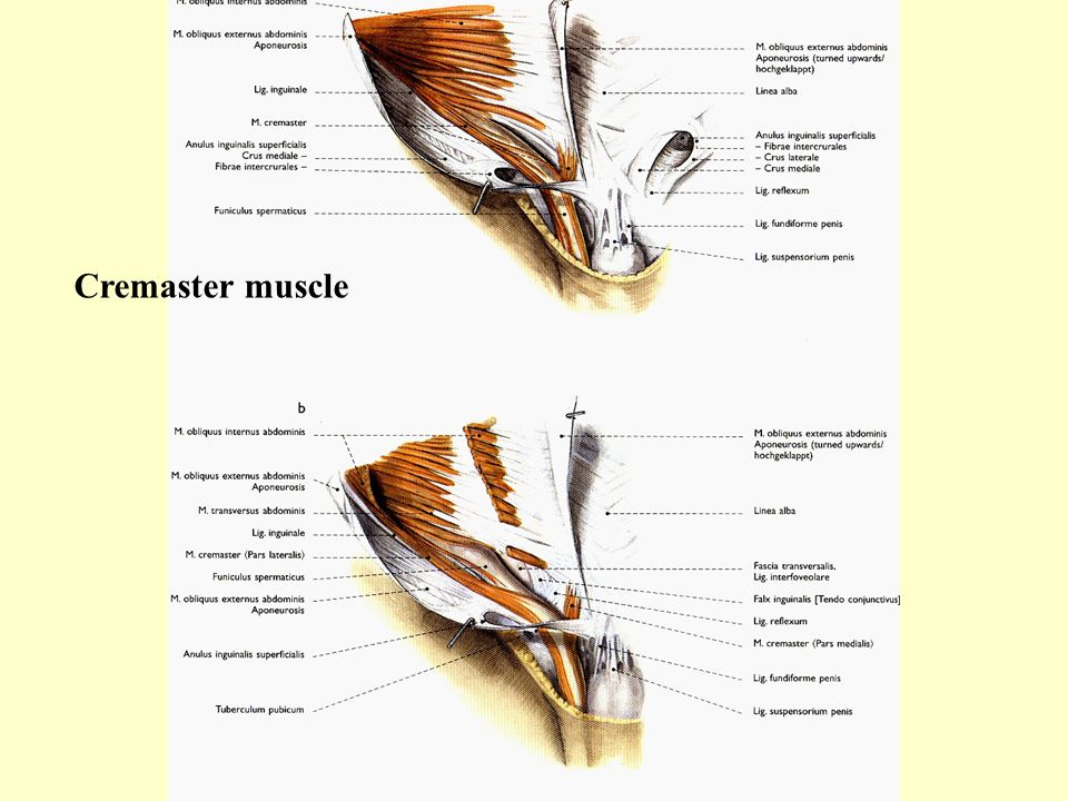 Cremaster muscle