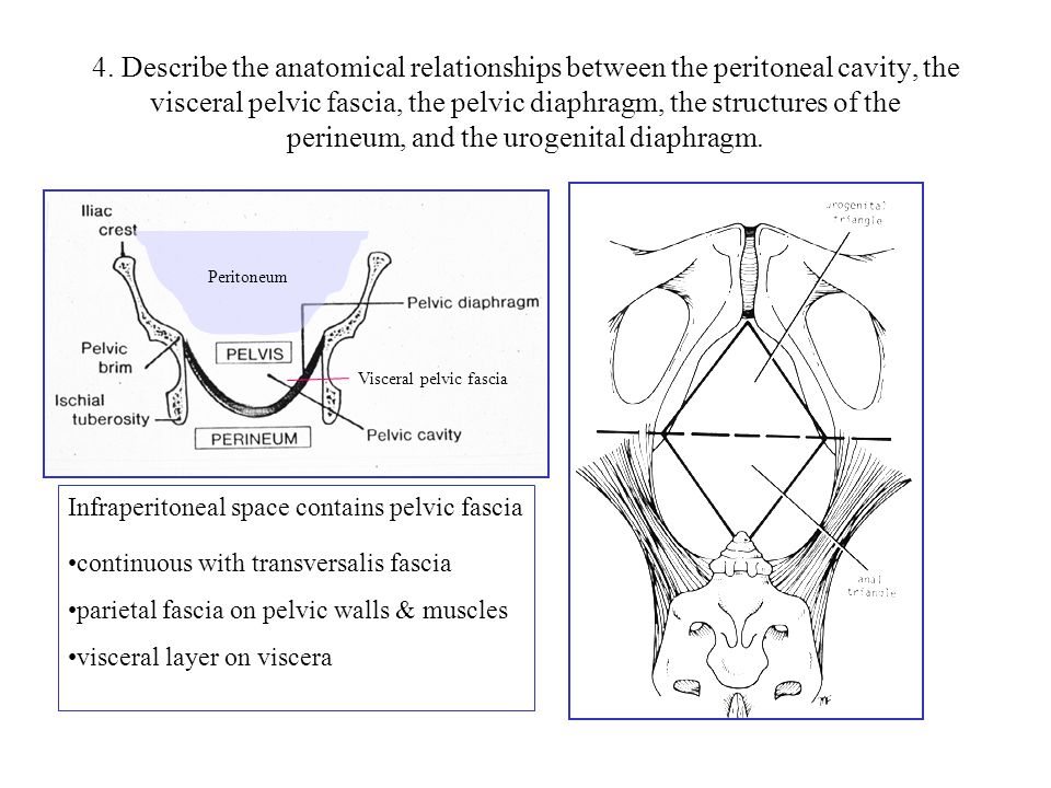 4. Describe the anatomical relationships between the peritoneal cavity, the visceral pelvic fascia, the pelvic diaphragm, the structures of the perineum, and the urogenital diaphragm.