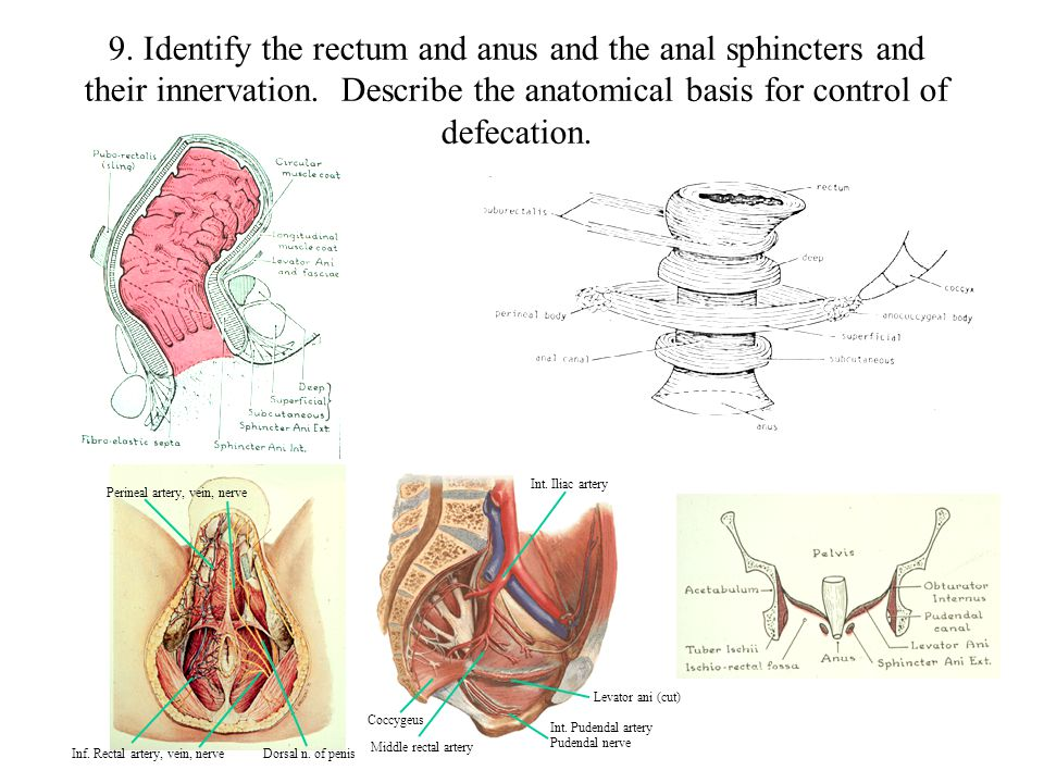 9. Identify the rectum and anus and the anal sphincters and their innervation. Describe the anatomical basis for control of defecation.