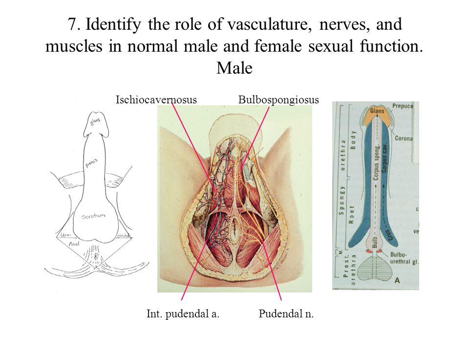 7. Identify the role of vasculature, nerves, and muscles in normal male and female sexual function. Male