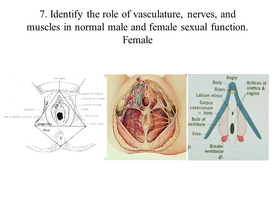 7. Identify the role of vasculature, nerves, and muscles in normal male and female sexual function.
