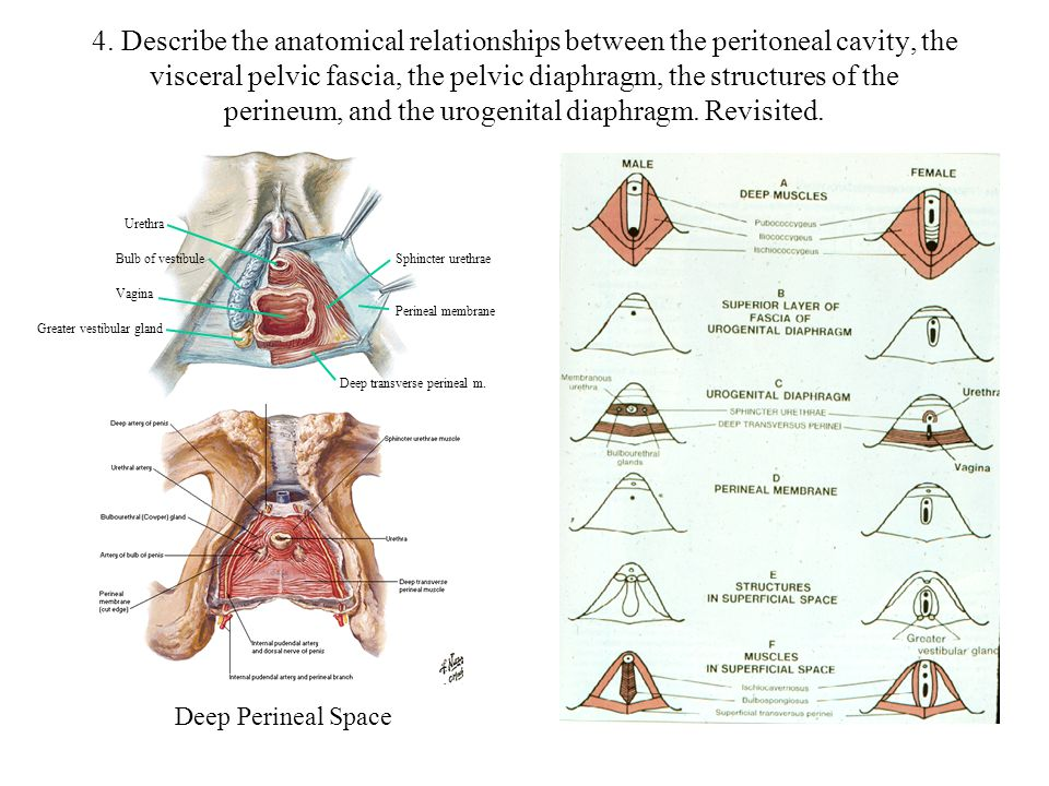 4. Describe the anatomical relationships between the peritoneal cavity, the visceral pelvic fascia, the pelvic diaphragm, the structures of the perineum, and the urogenital diaphragm. Revisited.