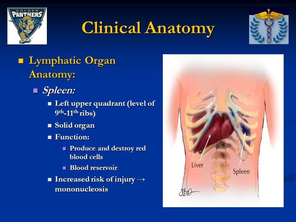 Clinical Anatomy Lymphatic Organ Anatomy: Spleen: