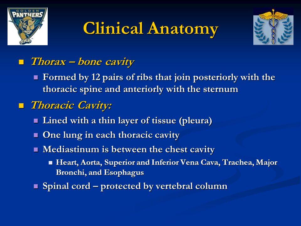 Clinical Anatomy Thorax – bone cavity Thoracic Cavity: