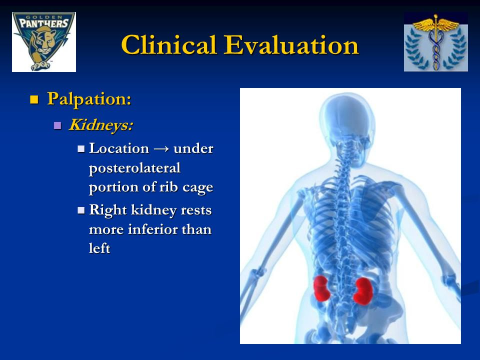 Clinical Evaluation Palpation: Kidneys: