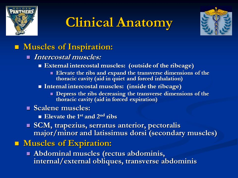 Clinical Anatomy Muscles of Inspiration: Muscles of Expiration: