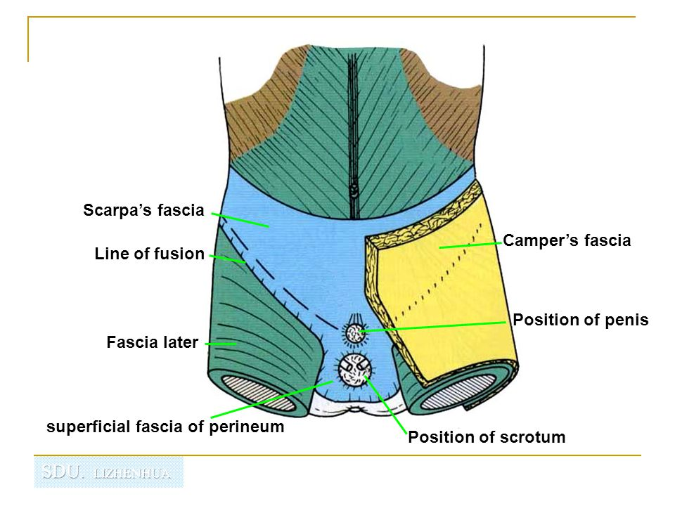 Scarpa's fascia Camper's fascia. Line of fusion. Position of penis. Fascia later. superficial fascia of perineum.