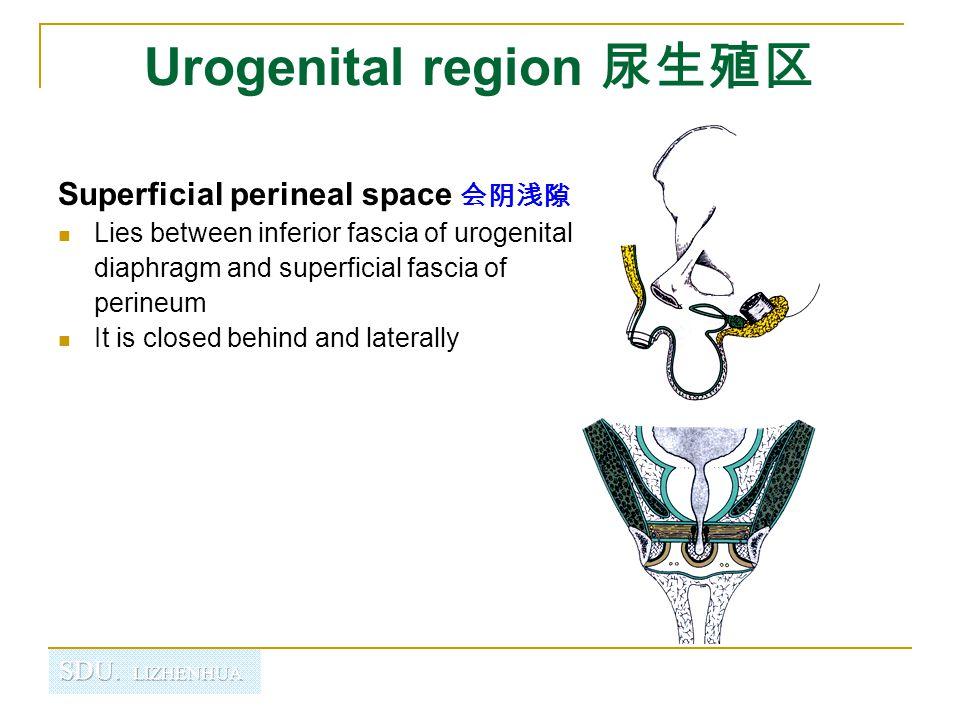 Urogenital region 尿生殖区