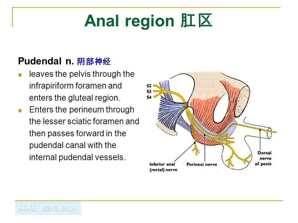 Anal region 肛区 Pudendal n. 阴部神经
