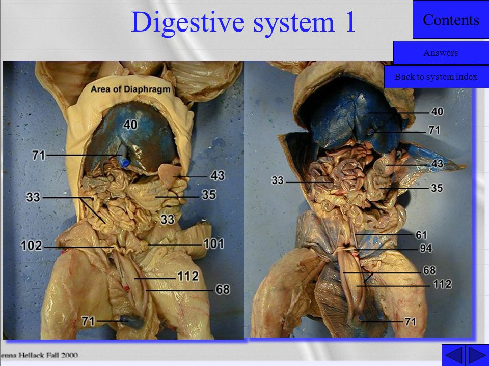Digestive system 1 Answers Back to system index