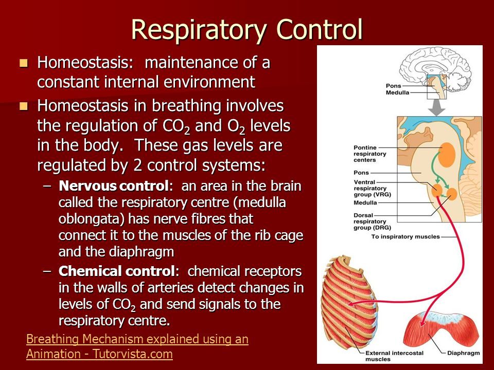 Respiratory Control Homeostasis: maintenance of a constant internal environment.