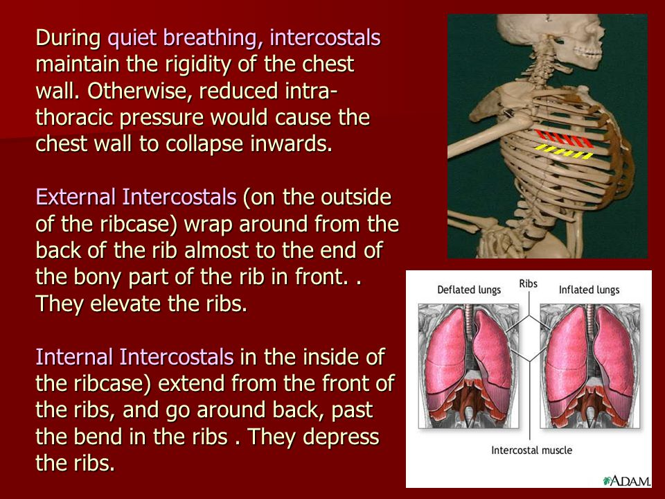 During quiet breathing, intercostals maintain the rigidity of the chest wall.