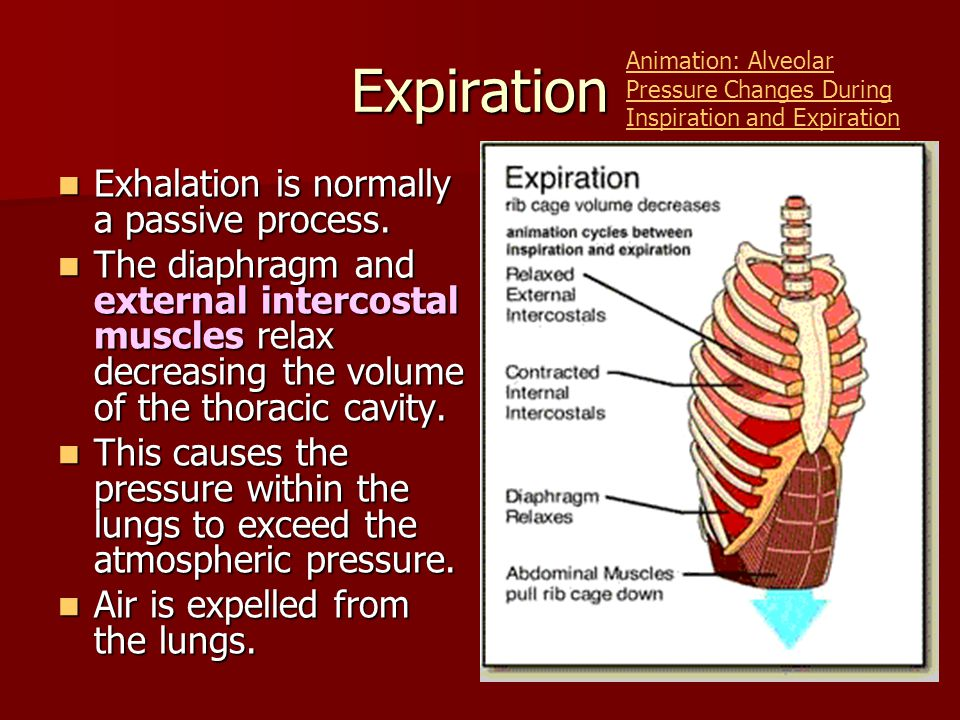 Expiration Exhalation is normally a passive process.