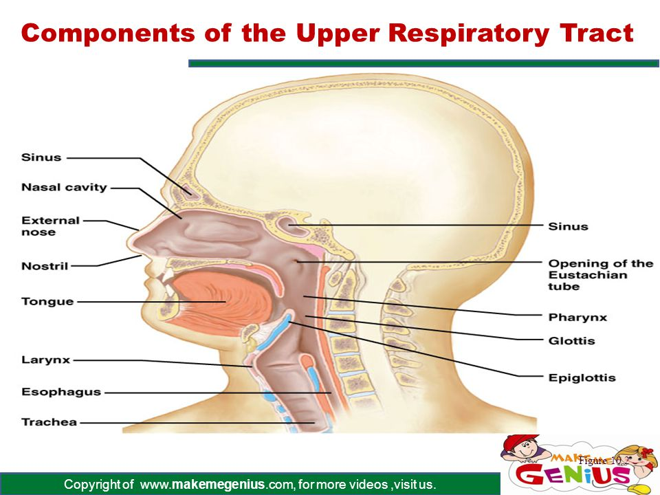 Components of the Upper Respiratory Tract