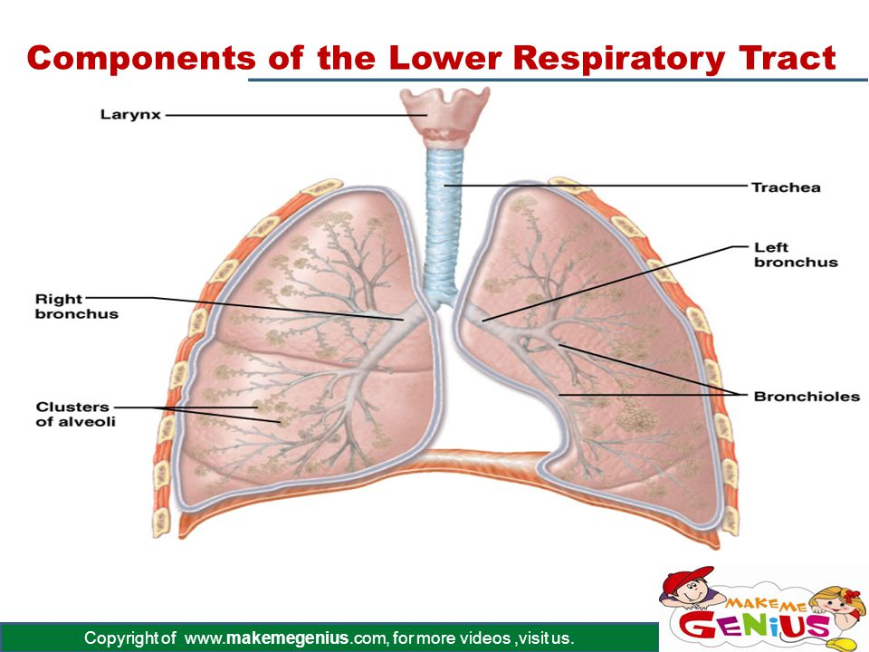 Components of the Lower Respiratory Tract