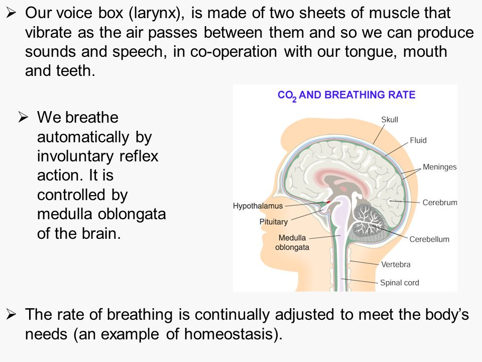 Our voice box (larynx), is made of two sheets of muscle that vibrate as the air passes between them and so we can produce sounds and speech, in co-operation with our tongue, mouth and teeth.