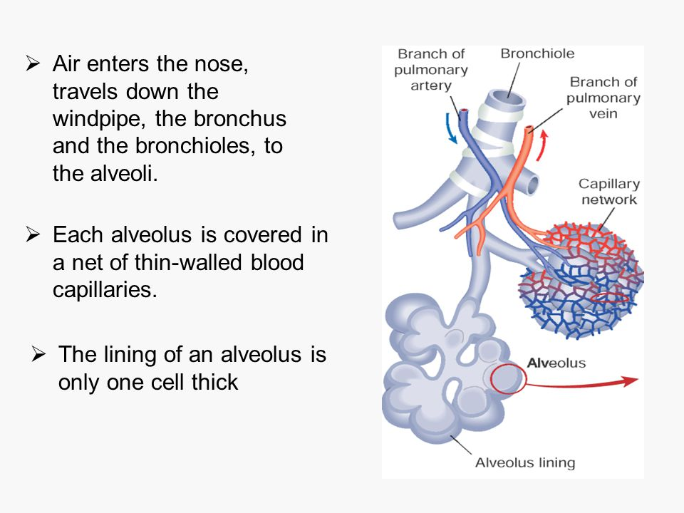 Air enters the nose, travels down the windpipe, the bronchus and the bronchioles, to the alveoli.