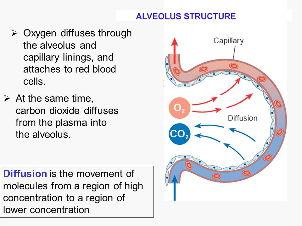 Oxygen diffuses through the alveolus and capillary linings, and attaches to red blood cells.