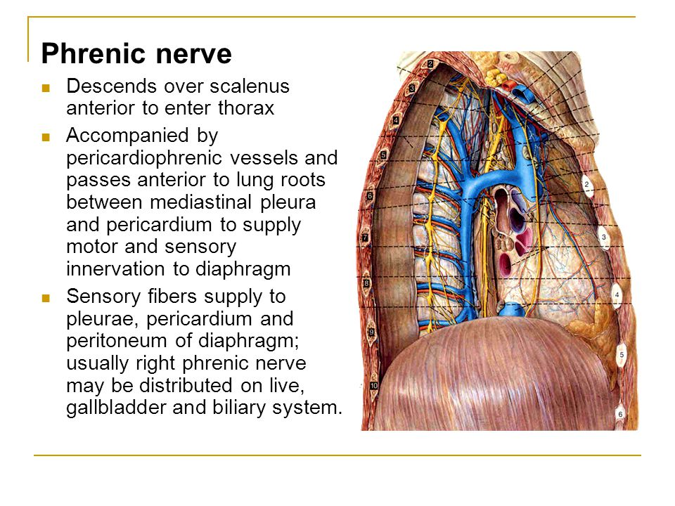 Phrenic nerve Descends over scalenus anterior to enter thorax