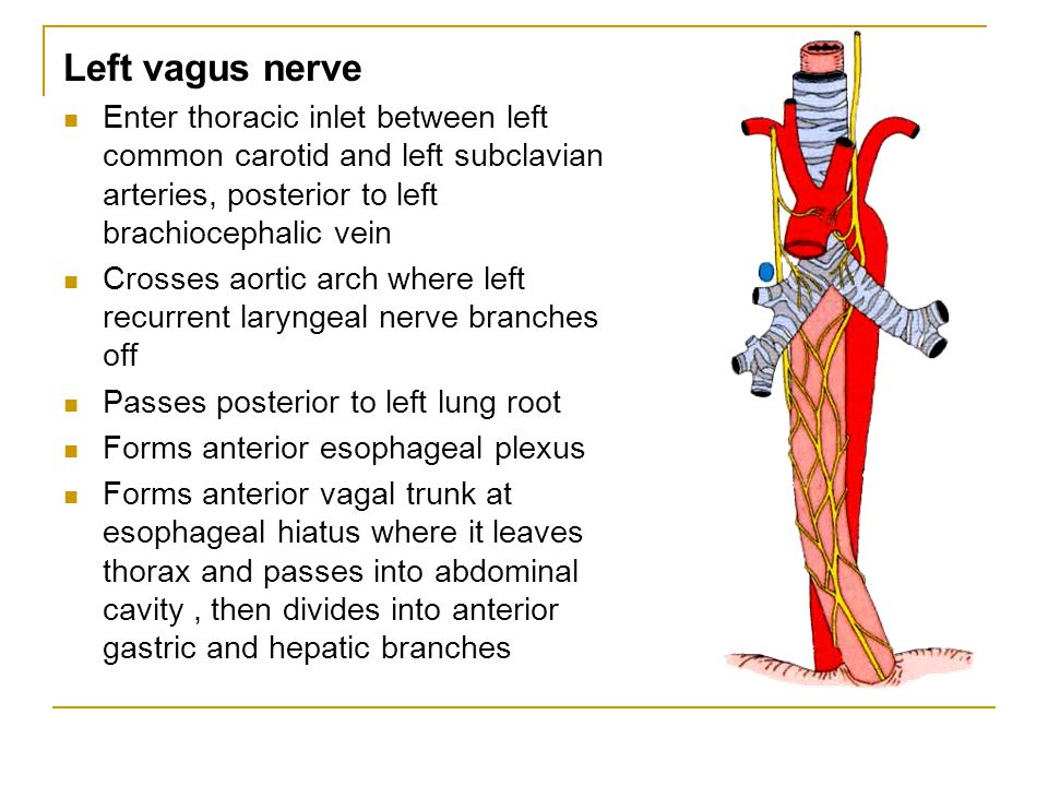 Left vagus nerve Enter thoracic inlet between left common carotid and left subclavian arteries, posterior to left brachiocephalic vein.
