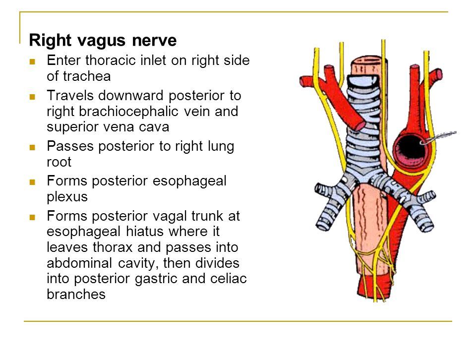 Right vagus nerve Enter thoracic inlet on right side of trachea