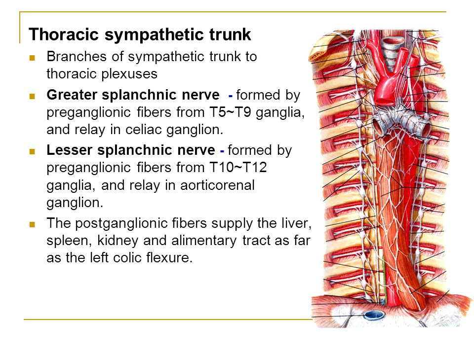 Thoracic sympathetic trunk