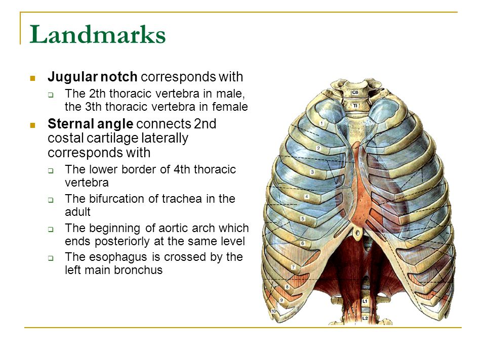 Landmarks Jugular notch corresponds with