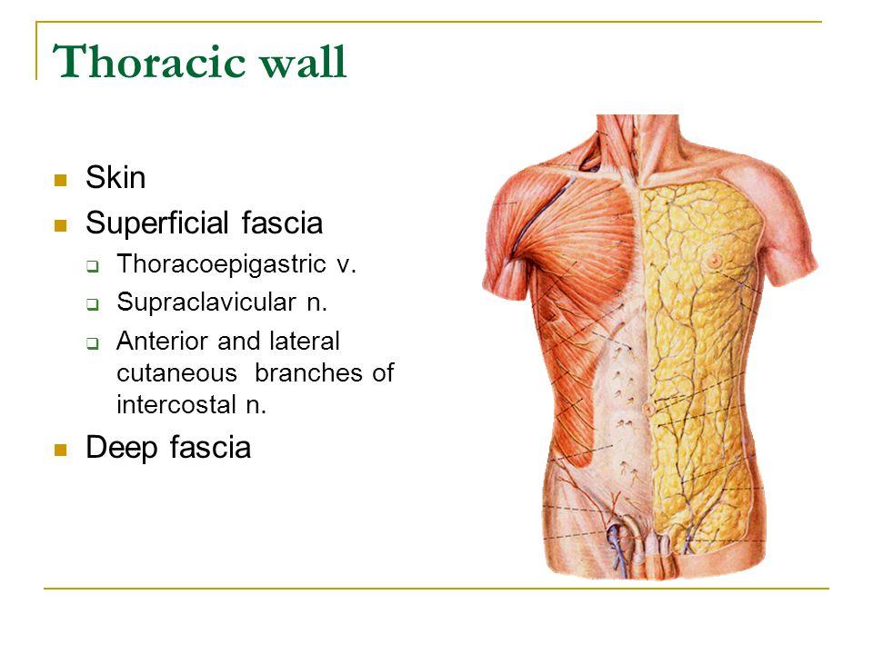 Thoracic wall Skin Superficial fascia Deep fascia Thoracoepigastric v.