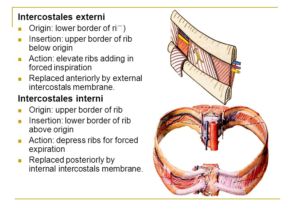 Intercostales externi