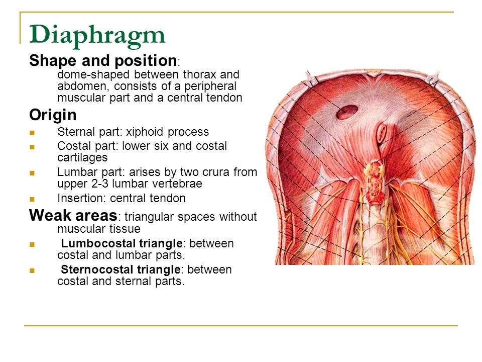 Diaphragm Shape and position: dome-shaped between thorax and abdomen, consists of a peripheral muscular part and a central tendon.