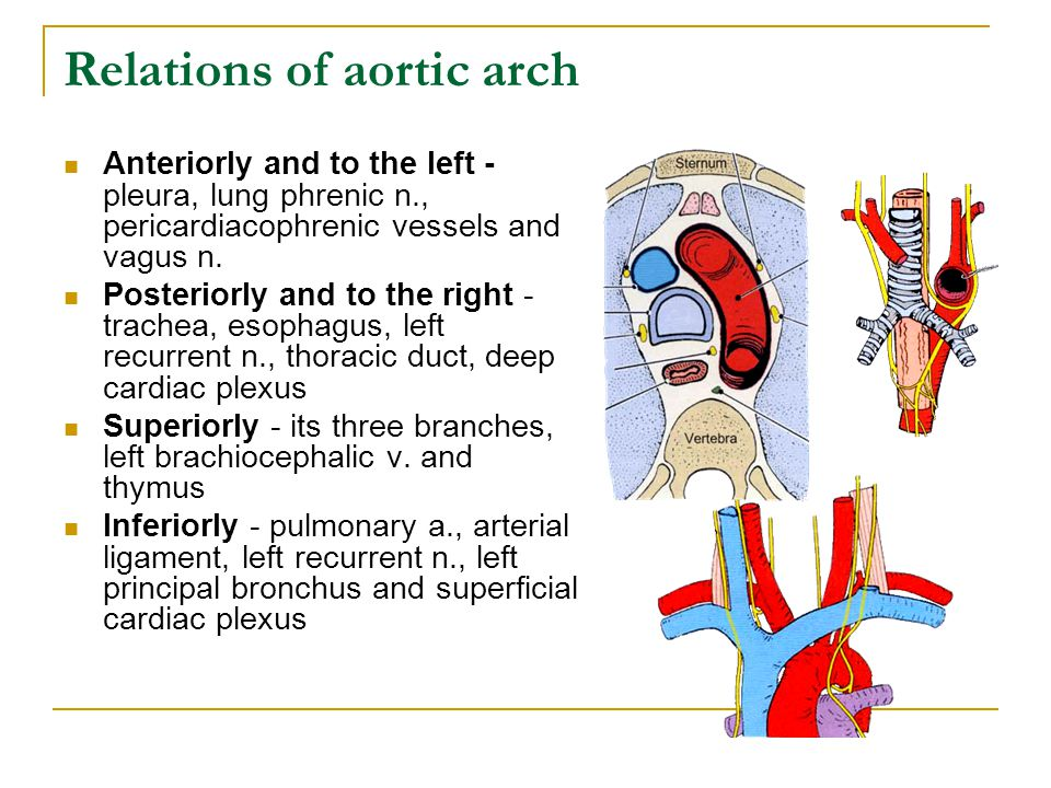 Relations of aortic arch