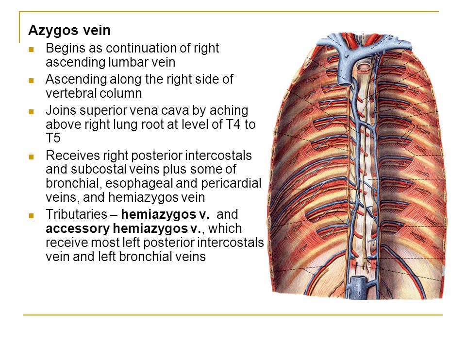 Azygos vein Begins as continuation of right ascending lumbar vein