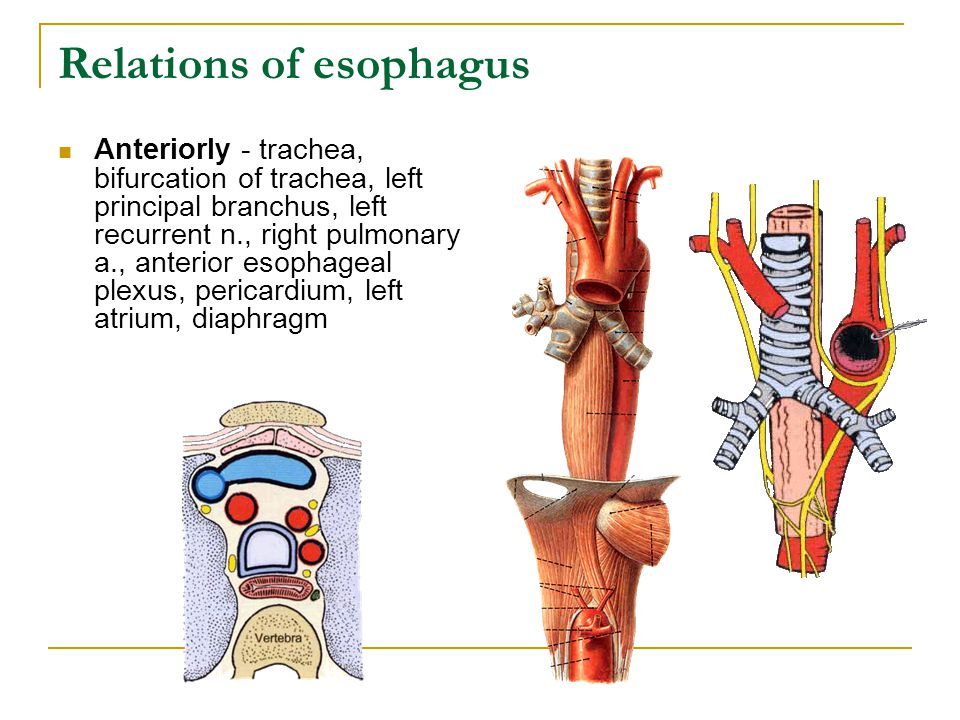 Relations of esophagus