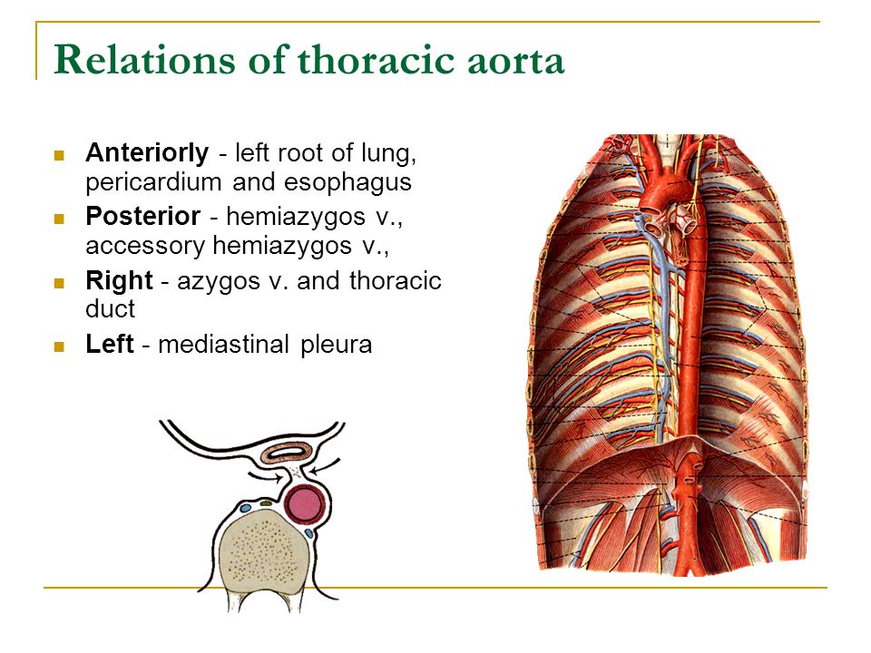 Relations of thoracic aorta