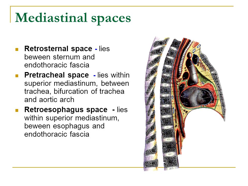 Mediastinal spaces Retrosternal space - lies beween sternum and endothoracic fascia.