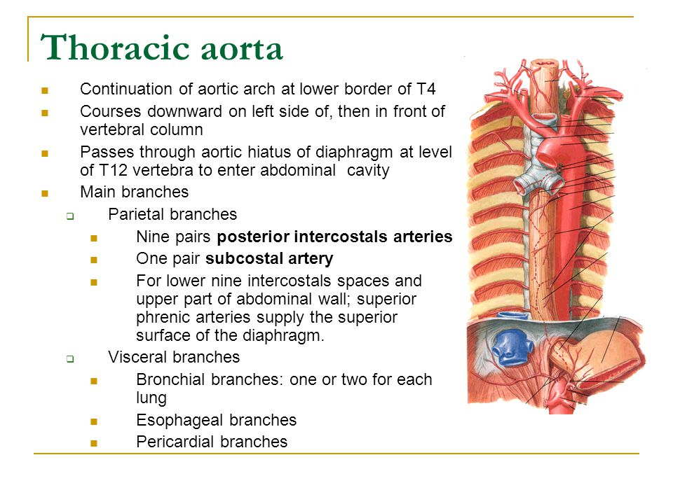 Thoracic aorta Continuation of aortic arch at lower border of T4