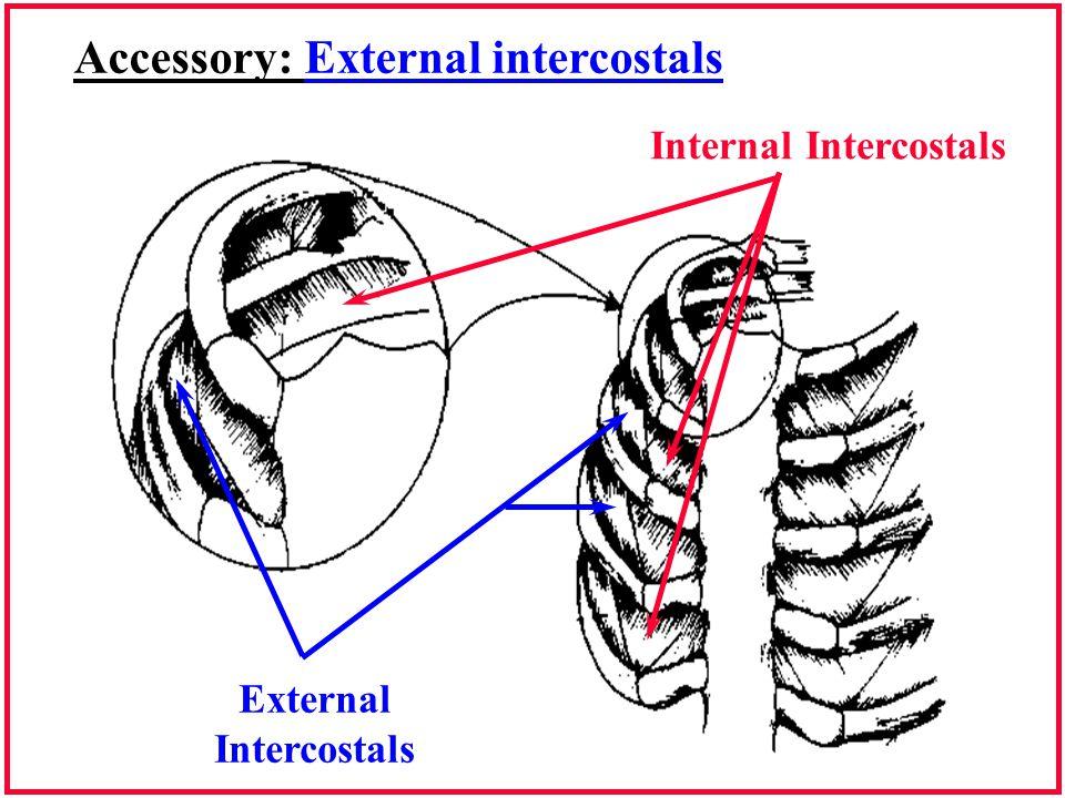 Accessory: External intercostals