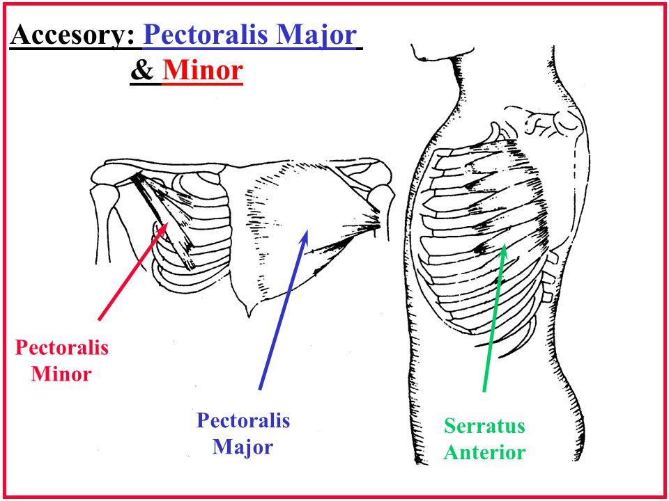 Accesory: Pectoralis Major