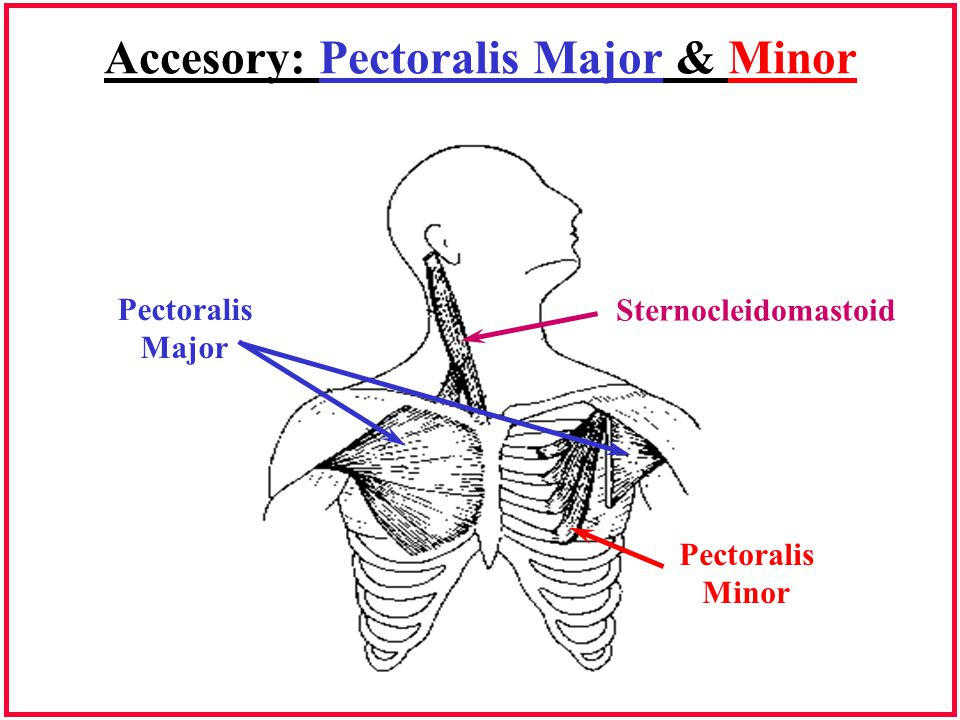 Accesory: Pectoralis Major & Minor
