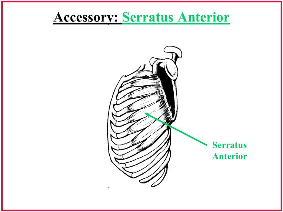 Accessory: Serratus Anterior