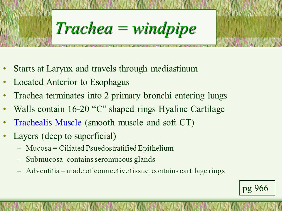 Trachea = windpipe Starts at Larynx and travels through mediastinum