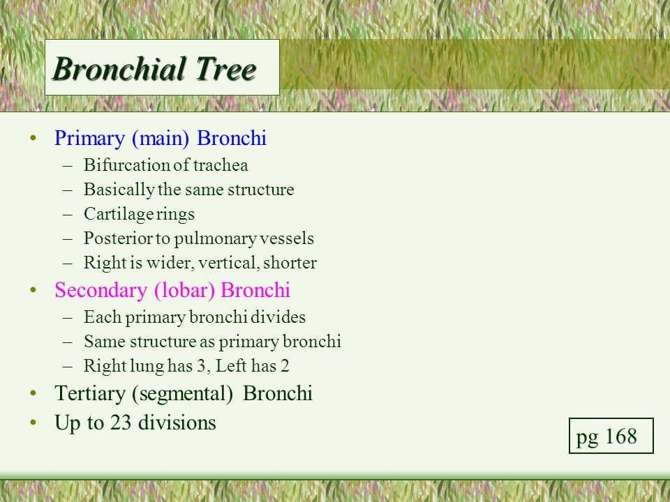 Bronchial Tree Primary (main) Bronchi Secondary (lobar) Bronchi