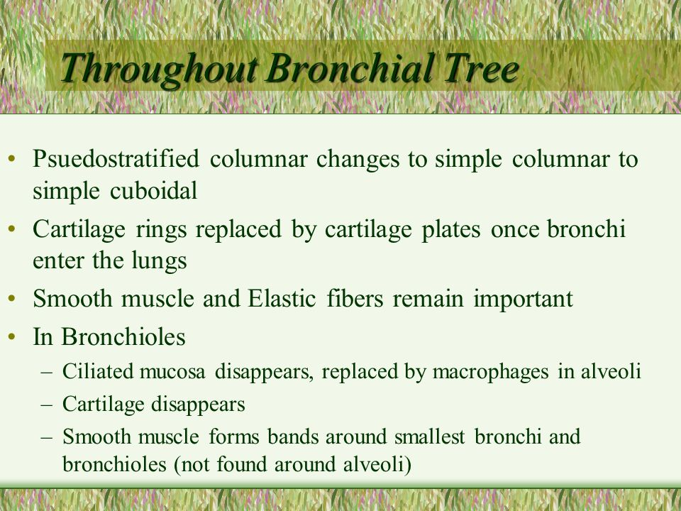 Throughout Bronchial Tree