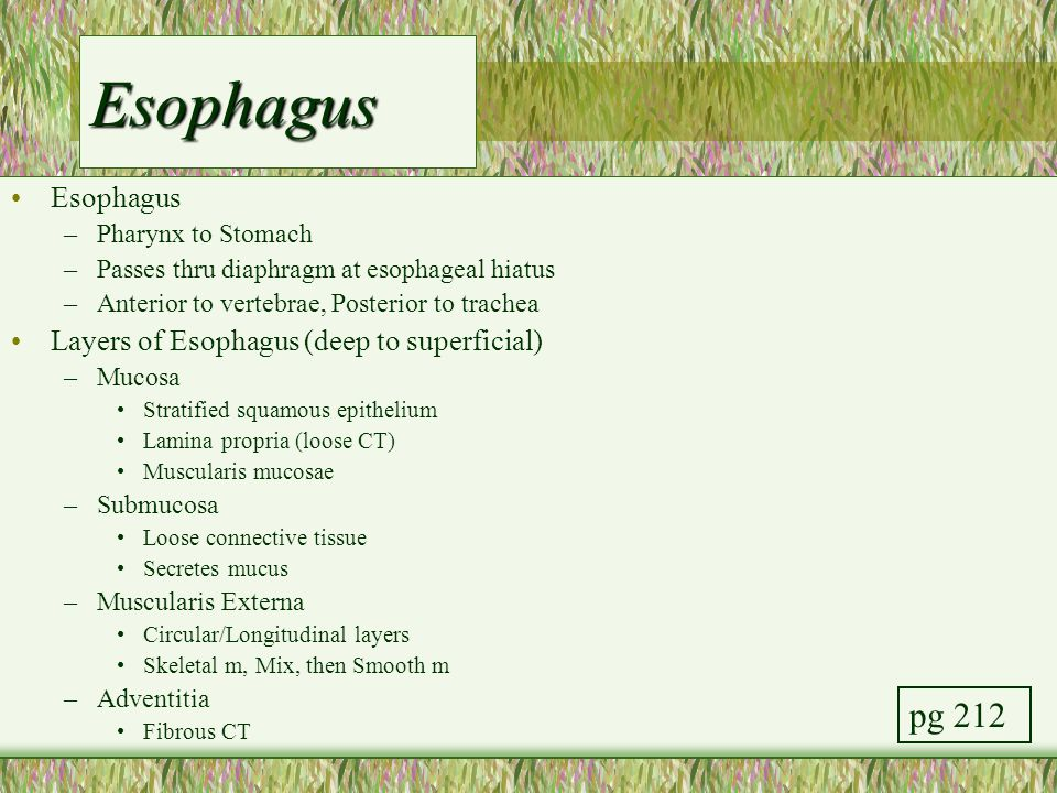 Esophagus pg 212 Esophagus Layers of Esophagus (deep to superficial)