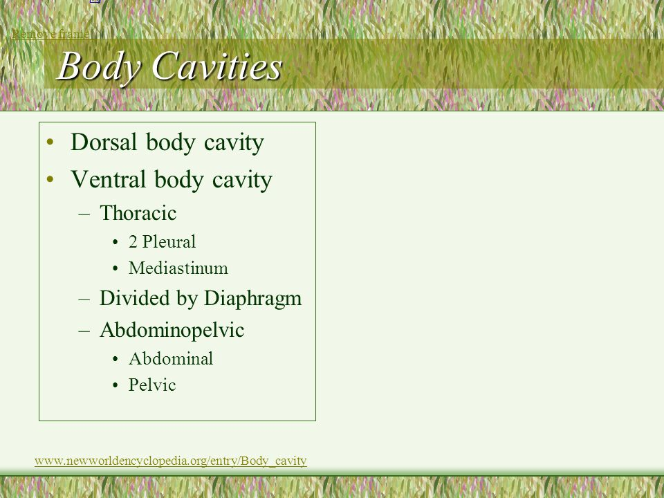 Body Cavities Dorsal body cavity Ventral body cavity Thoracic