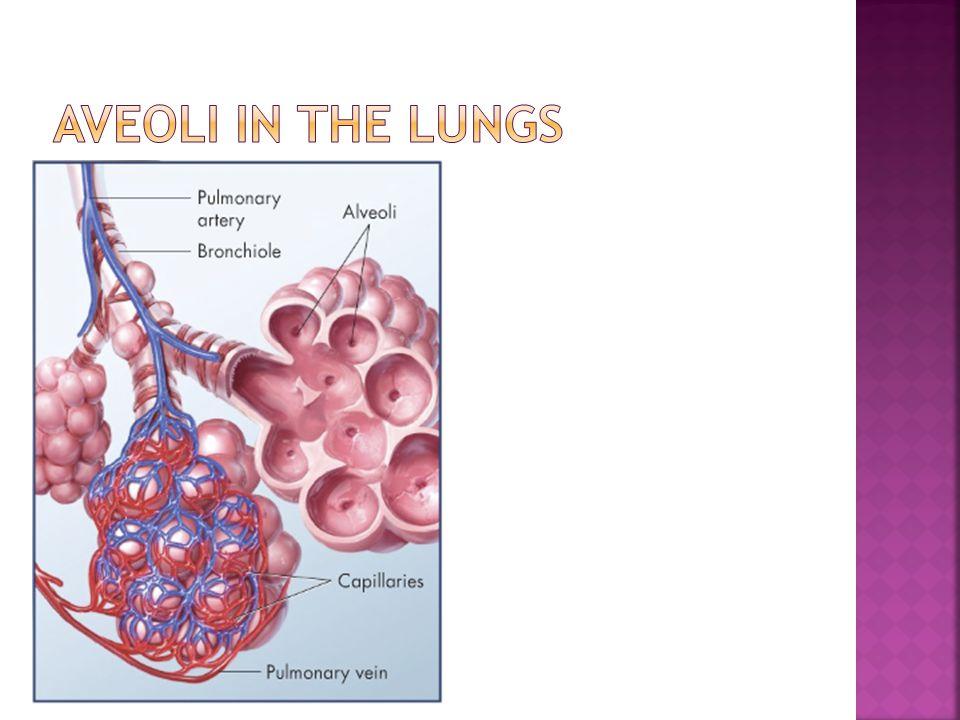 Aveoli In the lungs